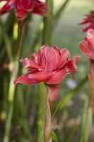 etlingera elatior bloem foto