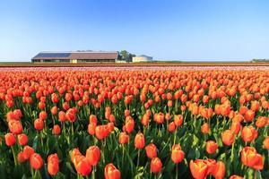 tulp veld boerderij foto