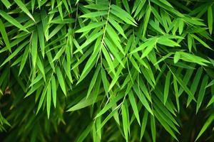 bamboe bladeren
