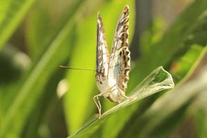 clipper vlinder - parthenos sylvia foto