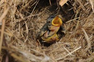 kleermaker baby vogel in het nest foto