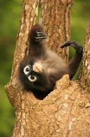 gebrilde langurzitting in een boom, Thailand foto