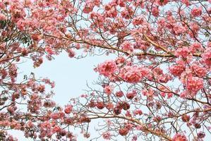 roze boom bloem achtergrond foto