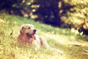 portret van golden retriever hond foto
