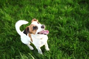 rasechte jack russell terrier hond buitenshuis foto