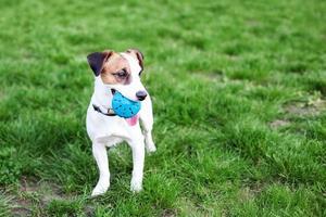 rasechte jack russell terrier hond buiten met speelgoed foto