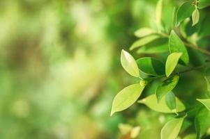 banyanboom met groene bladeren foto