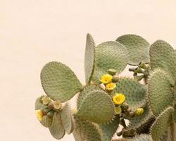 gele cactusbloem opuntia ficus foto
