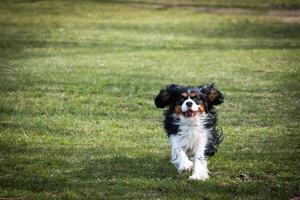 cavalier king charles spaniel hardlopen foto
