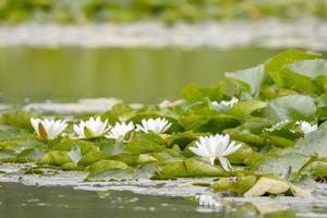 Europese witte waterlelies