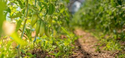 groene paprika's op een wijnstok in de volle zon foto