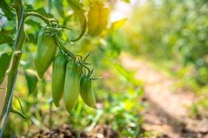 groene paprika's in de zon foto