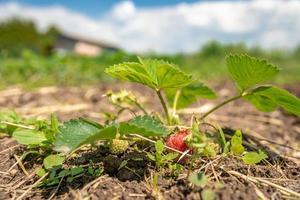 aardbei ontspruit omhoog op de boerderij foto