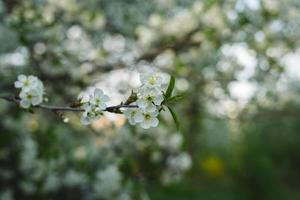 witte lentebloemen foto