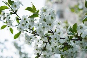 witte kersenbloesem boom