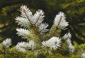 tak van een dennenboom foto
