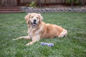 golden retriever zittend op het gras buitenshuis foto