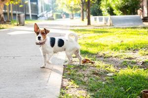 Jack Russell Terrier uit de riem