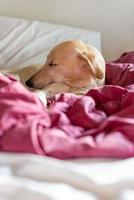 windhond slapen op bed foto