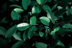 donkergroene bladeren verlicht door zonlicht foto