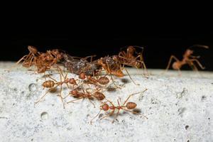 cluster van rode mieren foto