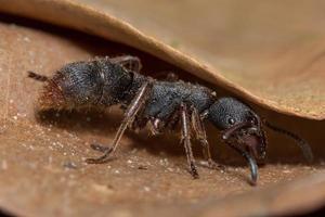 macro zwarte mier