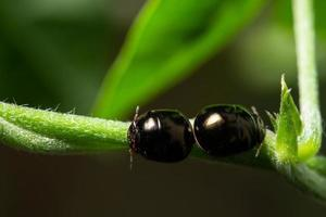 zwarte mestkevers foto