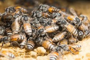 bijen in de bijenkorf foto
