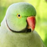 close-up van een groene halsbandparkiet