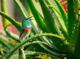 zuidelijke dubbel-collared sunbird op aloë vera plant foto