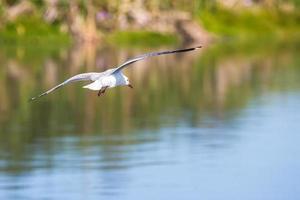 witte bevederde vogel die boven water vliegt foto