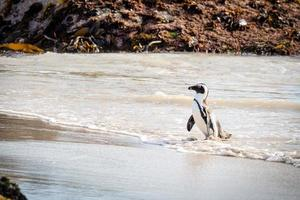 pinguïn die op strand loopt