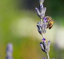 honingbij op lavendel