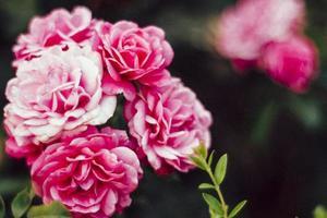 roze bloemen in selectieve aandacht foto