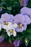 blauwe, witte en gele bloem foto