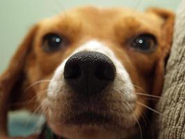 close-up van beagle foto