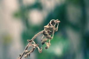 verdorde gedroogde bloem foto