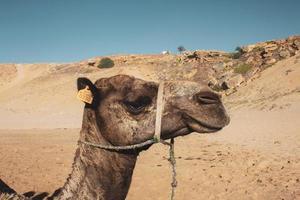zijaanzicht van het hoofd van de kameel foto