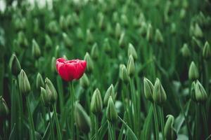 rode tulpenbloem foto