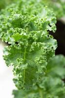 verse groene boerenkoolbladeren foto