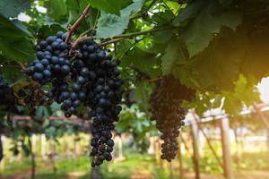 concord druiven op wijnstok foto