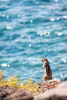 grondeekhoorn die zich op een klip bevindt foto