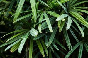 groene palmboom foto