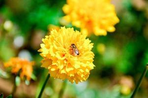 bij op gele bloem foto