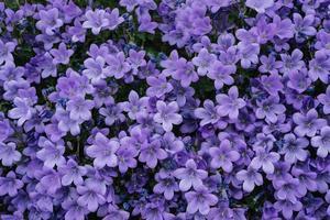 een veld van paarse bloemen foto