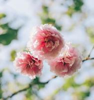 roze bloemen in de zon