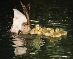 familie van eenden op het water