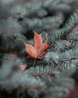 close-up van gedroogd blad op pijnboom foto