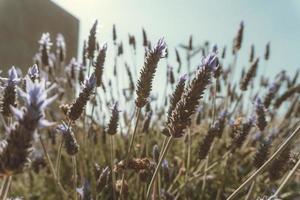 lavendelbloemen onder hoog gras