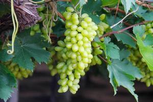 groene druiven op wijnstokken foto